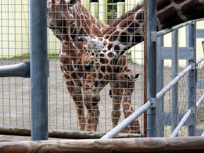 釧路動物園キリンの親子
