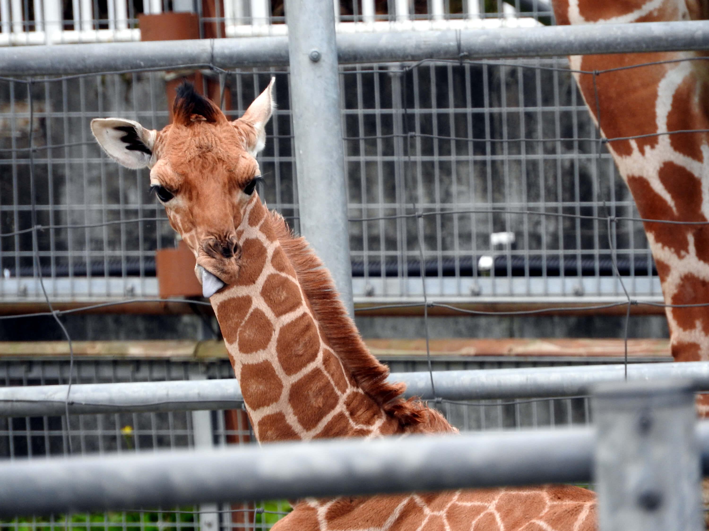 釧路動物園キリンの赤ちゃん